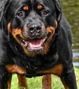 Rottweiler chien de chasse